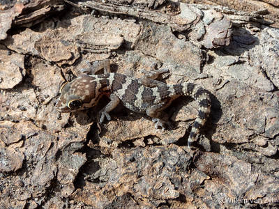 Southern Rough Gecko (Pachydactylus formosus)