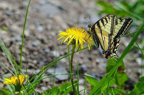 6 2013 Jun 12 Swallowtail Butterfly*