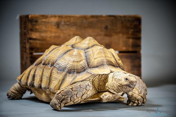 Amanda's Tortoise