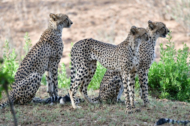 Cheetah5.jpg