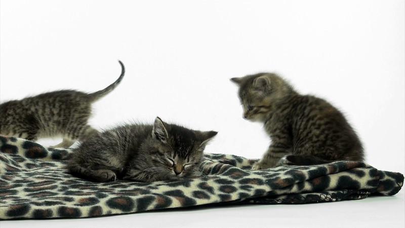 kitten_tabby_2_07.mov