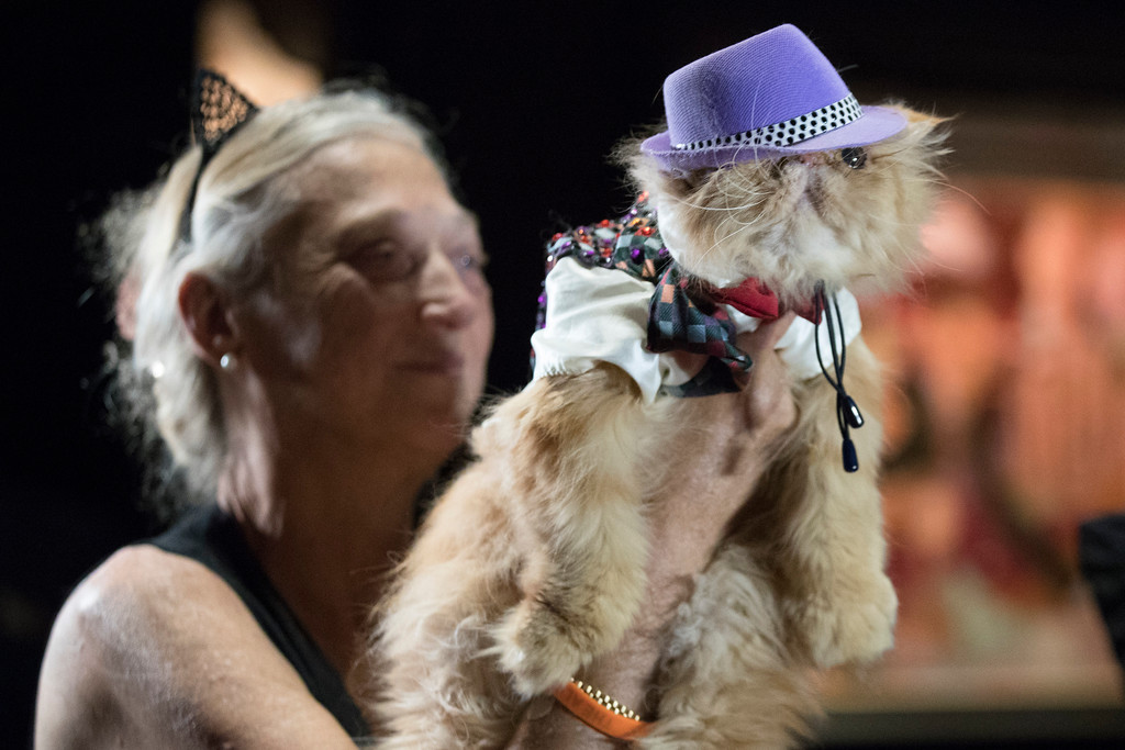. In this Thursday, Aug. 2, 2018 photo, Aodhan, dressed in fedora outfit is presented on the red carpet during the cat fashion show at the Algonquin Hotel in New York. The event is a fundraiser for the Mayor\'s Alliance for NYC\'s Animals, which helps support more than 150 animal shelters and rescues in New York. (AP Photo/Mary Altaffer)