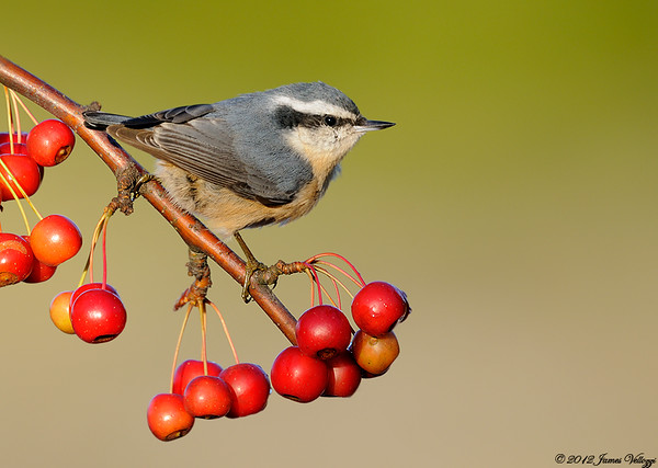 Chickadees, Titmice, Creepers & Nuthatches