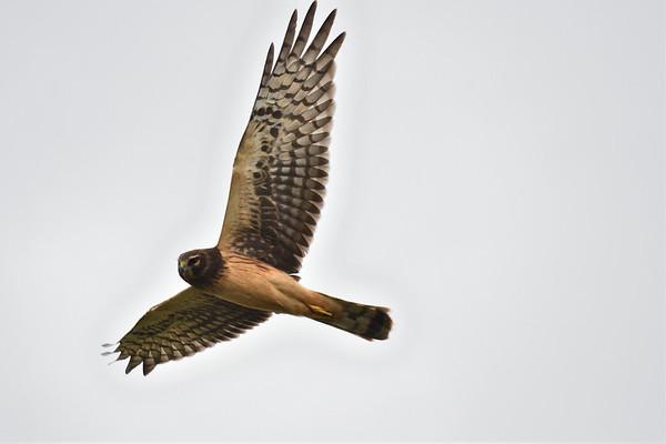 Eagles, Osprey, Hawks
