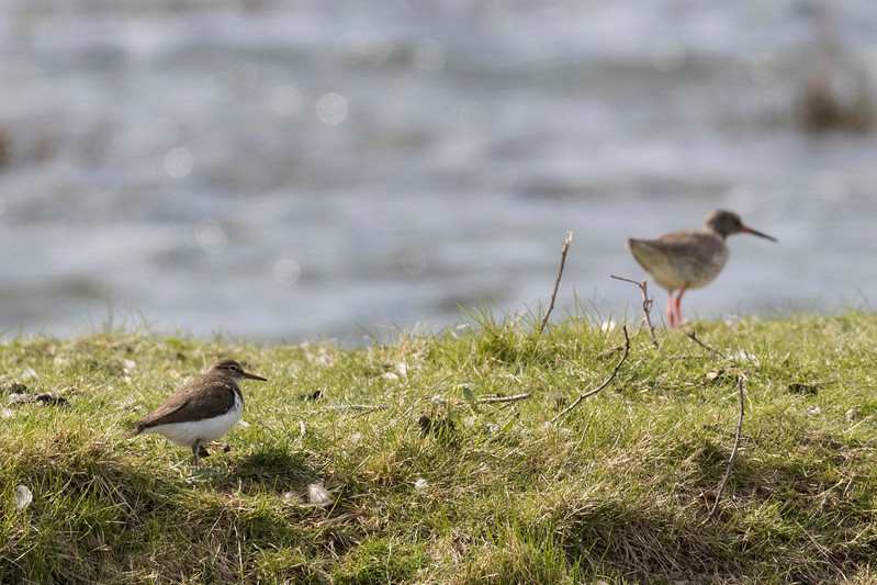 oeverloper, common sandpiper