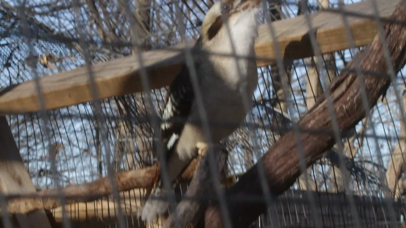 Laughing Kookaburra   World Bird Sanctuary  St. Louis County, Mo.  2018-02-25     Click here to open video in lightbox/full screen     Click here to open video in lightbox/full screen