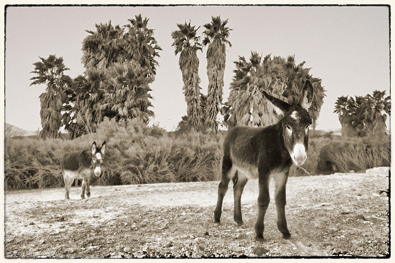 Wild burros in a Death Valley palm oasis.