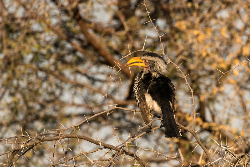 Hornbill and Acacia Thorns