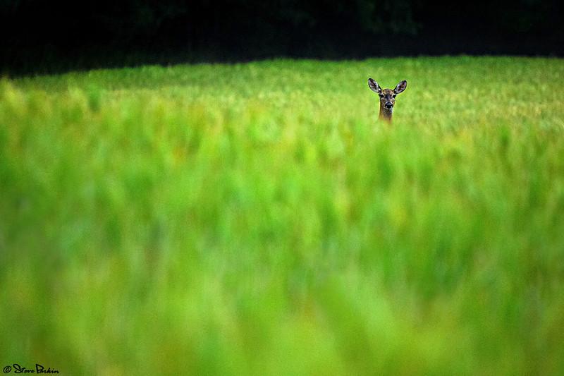 Deer FSS v4.jpg