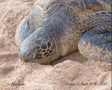 Turtles Oahu