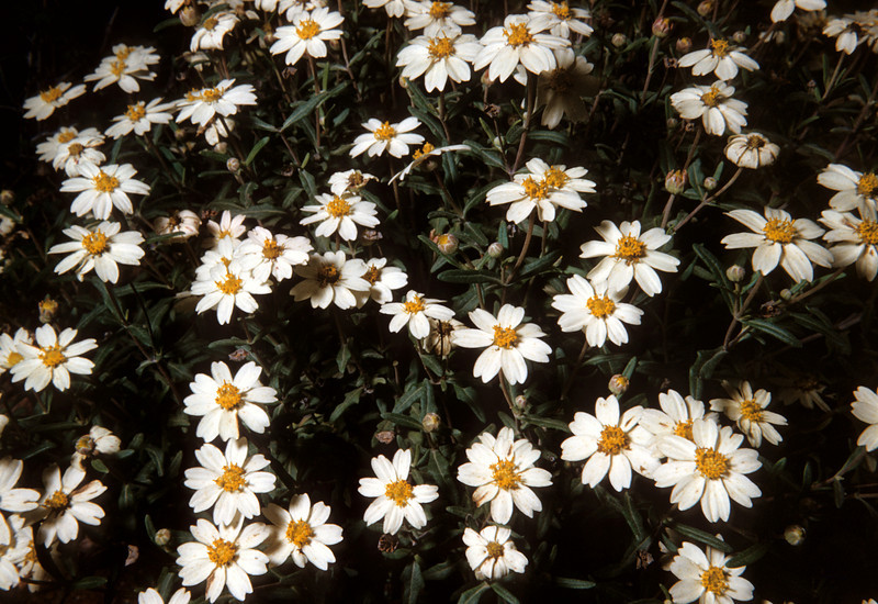Blackfoot Daisy (Melampodium leucanthum)