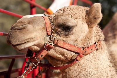 Camels! 2011