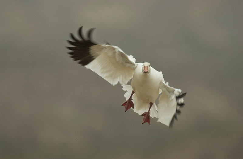Snow Goose In-Flight 0222457