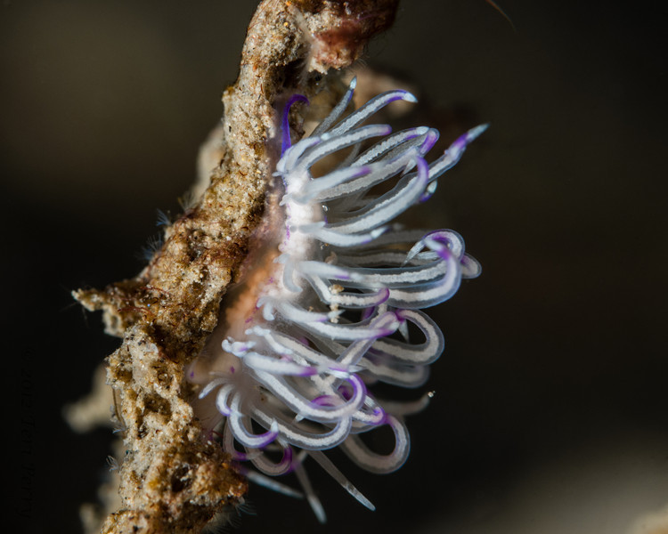 nudibranch- flabellina with eggs-6137.jpg