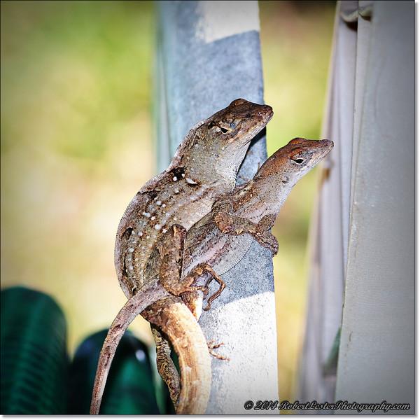 2014-06-06_IMG_0856__Anole Lizard,Clearwater,Fl..JPG