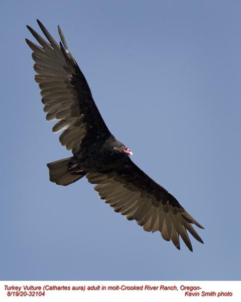 Turkey Vulture A32104.jpg