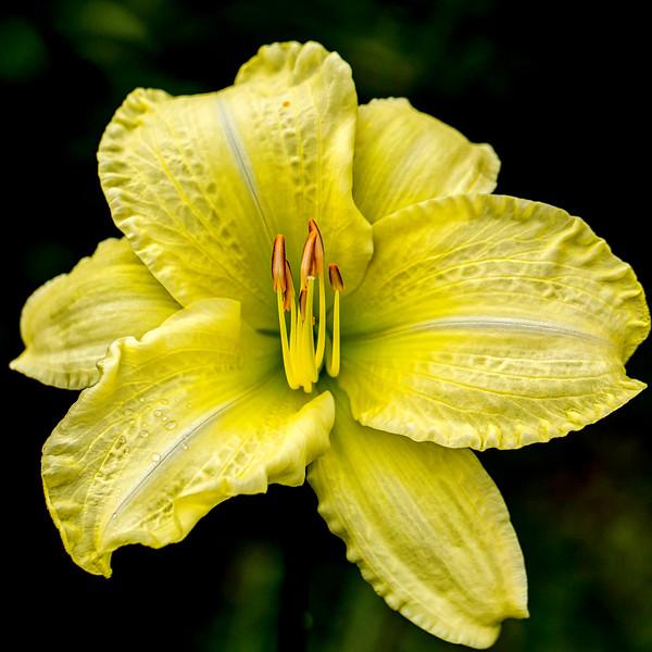So Lovely daylily