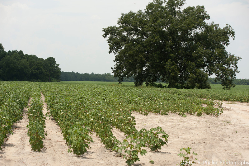 Low growing Cotton...the only kind I have seen before!