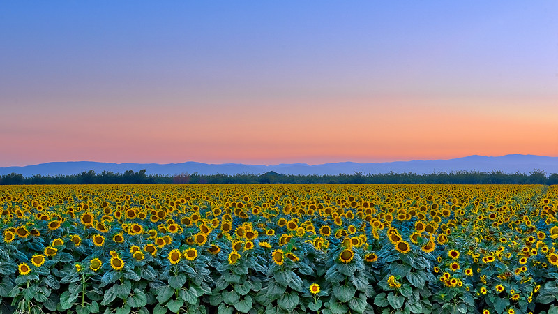 Sunflower Field- Mtns_PS DSC0821_HDR.jpg