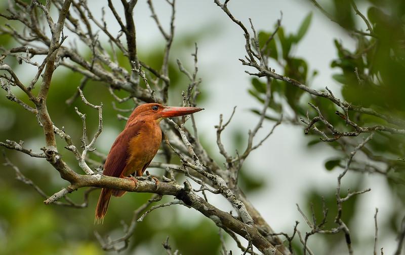 Ruddy-Kingfisher-Sundarbans.jpg