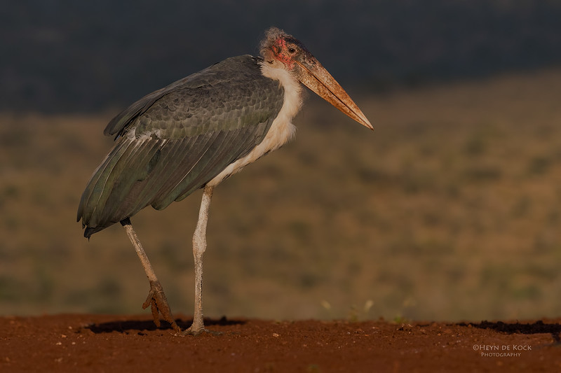 Marabou Stork, Zimanga, South Africa, May 2017-15.jpg