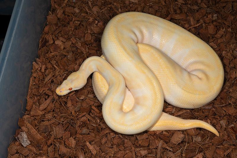 2017 Adult Male Enchi Albino, $250