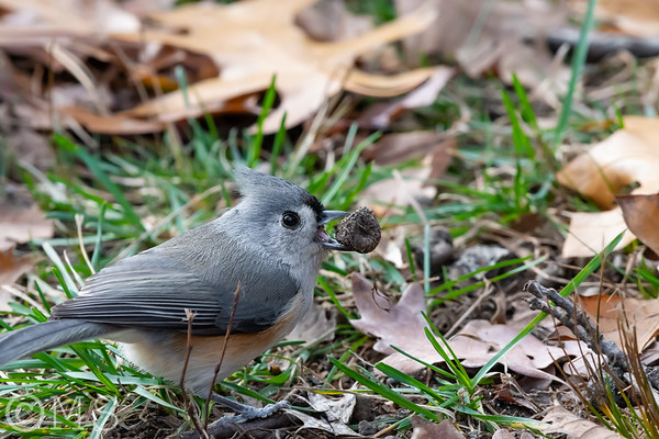 Tufted Titmouse Image Gallery