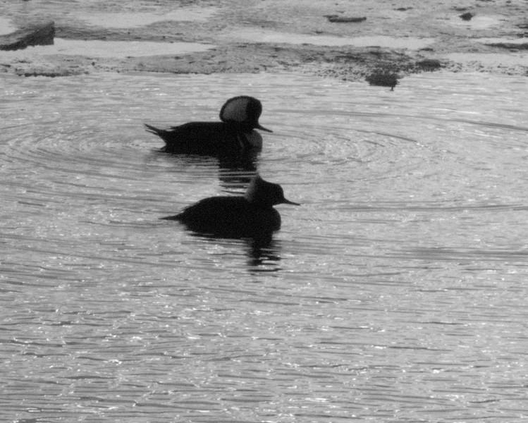 duck couple bw.jpg