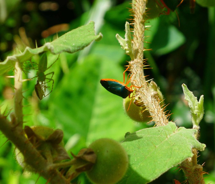 shield bug AND spider.jpg