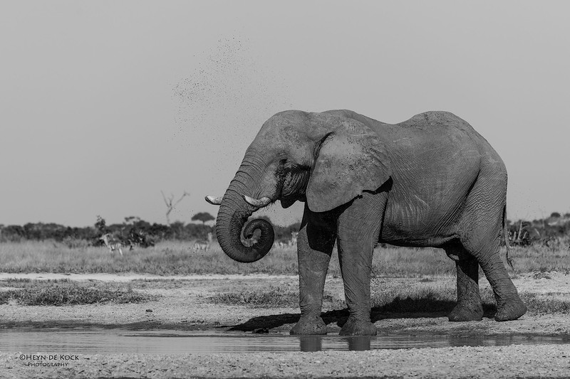 African Elephant, b&w, Savuti, Chobe NP, Botswana, May 2017-3.jpg