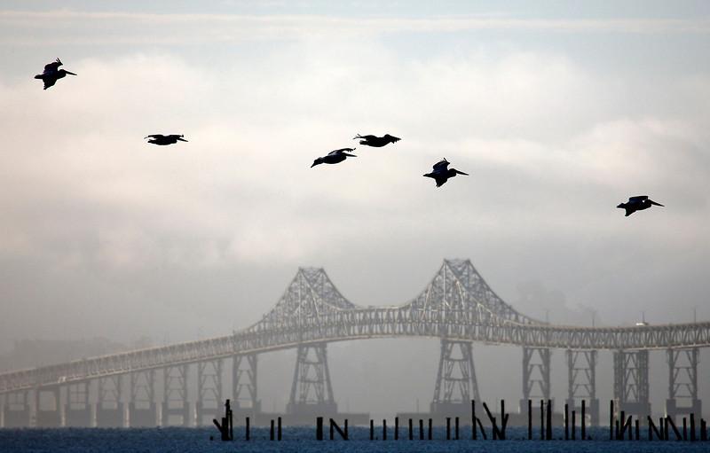 White Pelicans and Richmond bridge