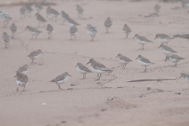 shorebird flock Park Point Duluth MN IMG_3278.jpg