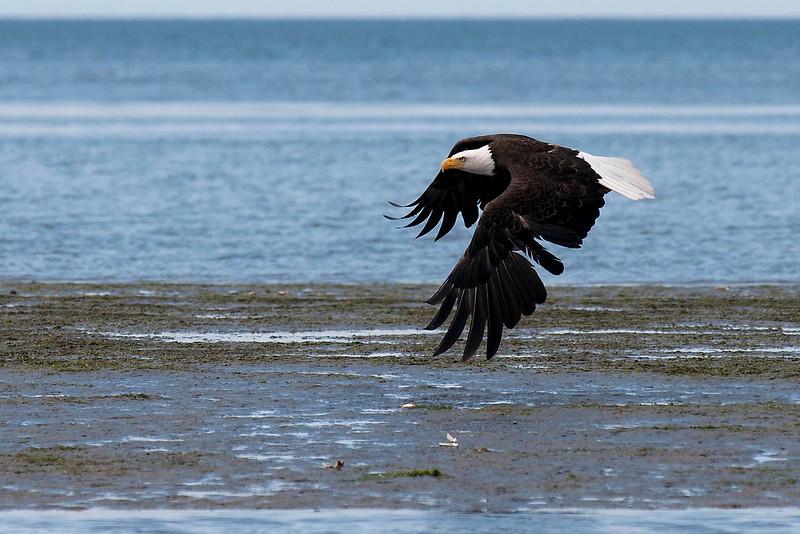 © Paul Conrad/Pablo Conrad Photography Bald eagle at Birch Bay and old boat in Blaine, Wash.