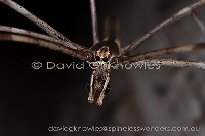New Guinea Spiders Deinopidae (Ogre-faced Spiders, Net-casting Spiders)