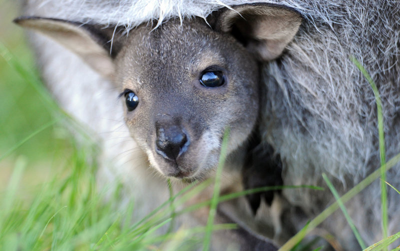 Description of . A baby kangaroo looks out from its mother's pouch at the zoo in Hanover, northern Germany.  (JOCHEN LUEBKE/AFP/Getty Images)