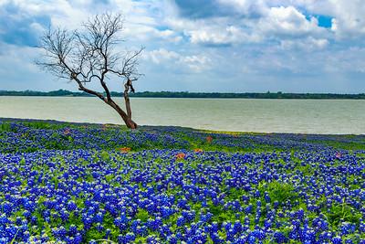 Texas Bluebonnet Flowers