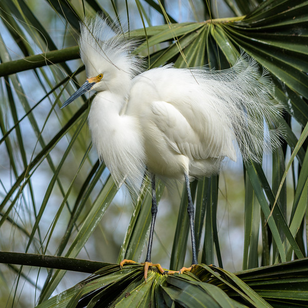 Snowy Egret - all fluffled up during mating season