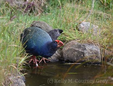 New Zealand's Endemic Birds