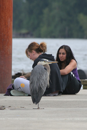 Fred the Blue Heron