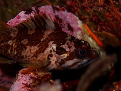 Sebastes carnatus (gopher rockfish)