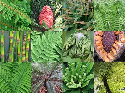 Cycads, Ferns, Lycopods & Horsetails
