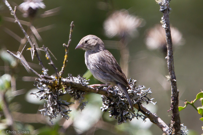 Ash-breasted Sierra-Finch juvenile at Abra Porculla, Peru (06-28-2010) 806