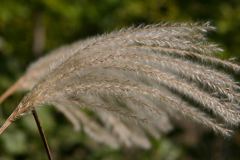 Pampas Grass002.jpg