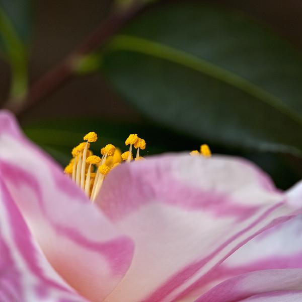 camellia-pollen.jpg