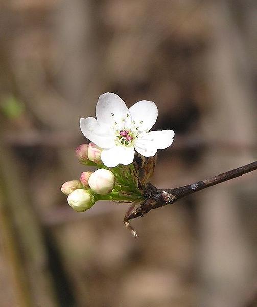 apple-blossom_111083527_o.jpg