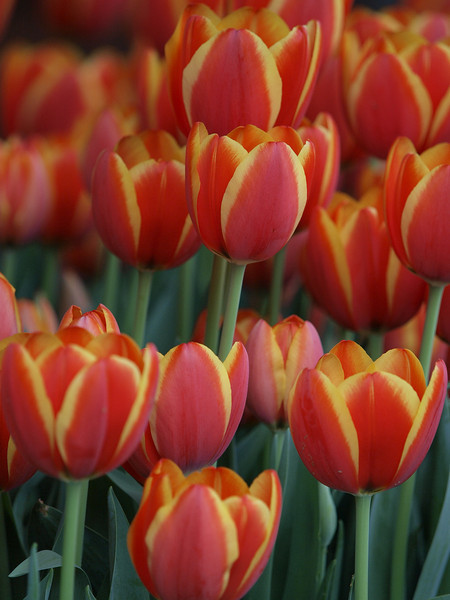Dallas Blooms, March 9, 2009 Dallas Arboretum