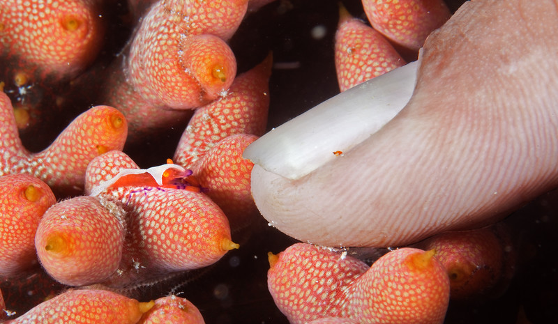 Imperator shrimp, less than 1/2-inch long, on the underside of a sea cucumber. Raja Ampat, Indonesia.