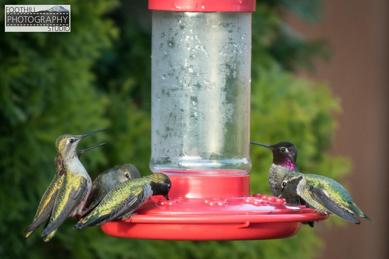 Hummingbirds Sml-102.JPG