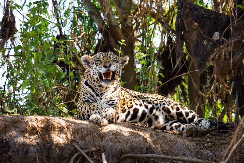 Jaguars Toothy Grin