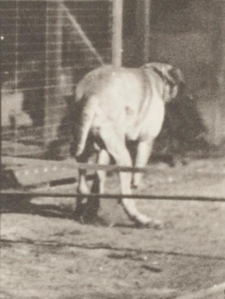 Dog Dread jumping hurdle